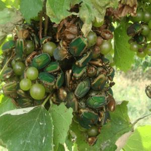 Figure 1. Green June beetles feeding on maturing Seyval Blanc grape berries.
