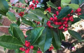 Holly berry tree