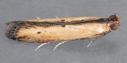 lesser cornstalk borer