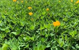rhizoma perennial peanuts