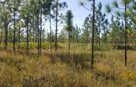 A restored stand of longleaf pine trees