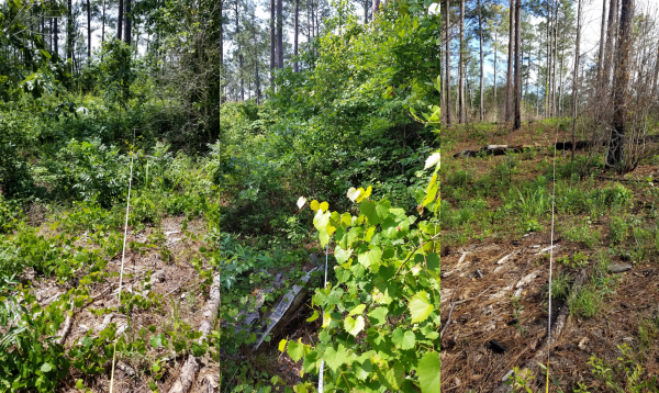 Figure 5. Established vegetation monitoring plot on a longleaf restoration project in Alabama, from left to right: post overstory thinning targeting offsite pine in 2016; 1 year's growth on midstory shrubs in 2017; and post-midstory herbicide treatment with triclopyr and prescribed burn in 2018 (photos by Carol Denhof)