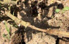 Fire ant damage on hemp stem