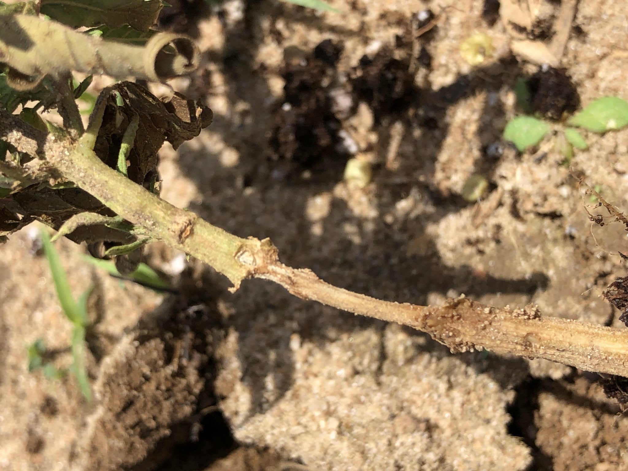 Fire ant damage on hemp stem