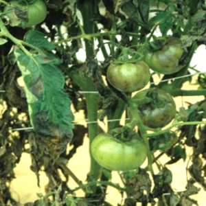 late blight on a tomato