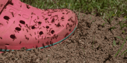 A foot stepping in a fire ant bed.