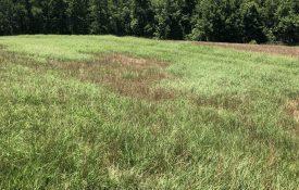 Grasshopper damaged hayfield