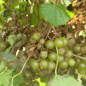 Figure 2. Green June beetle damage to grape clusters.
