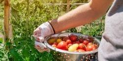 harvest fresh tomatoes