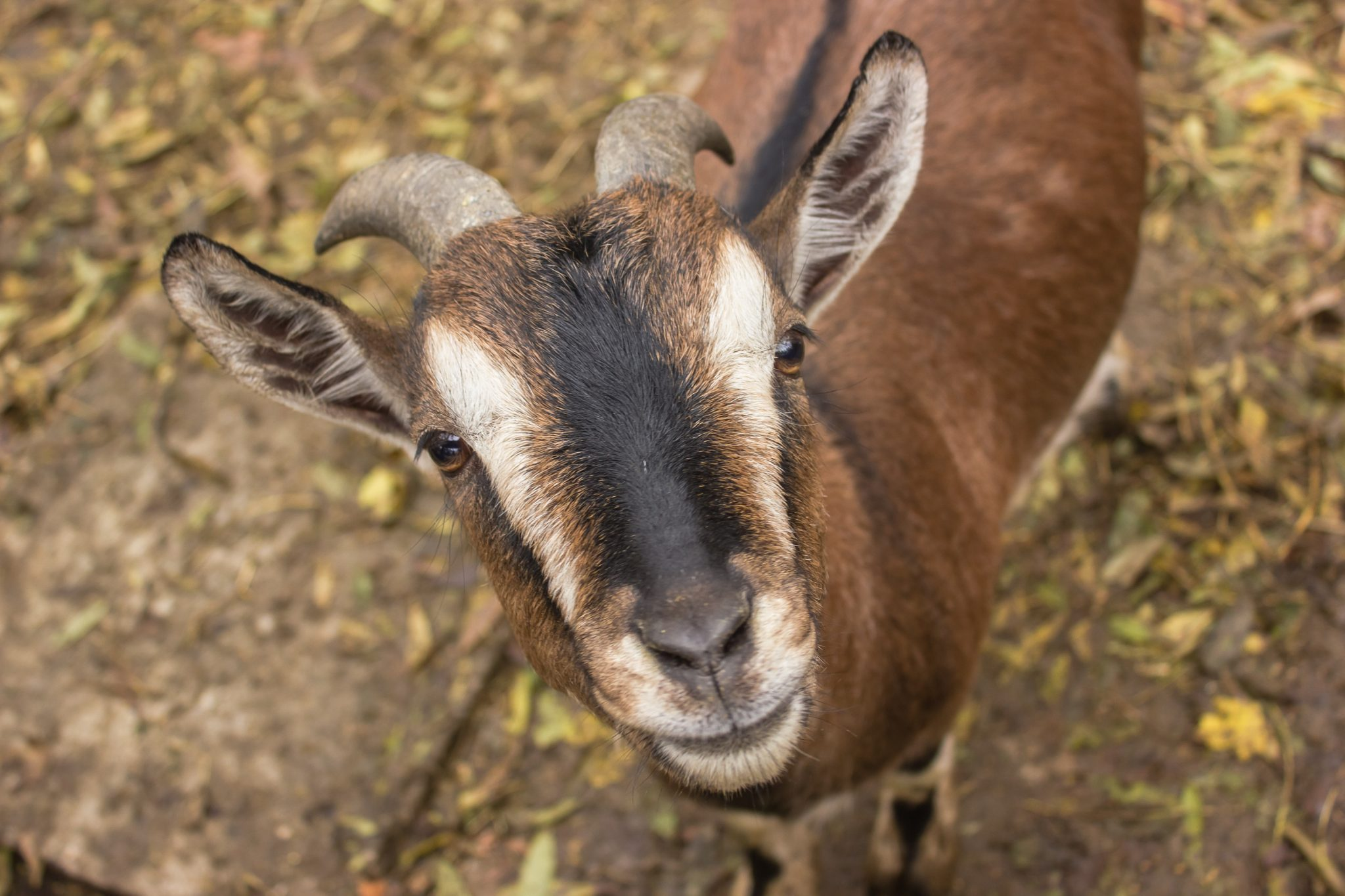 A goat looking into the camera.