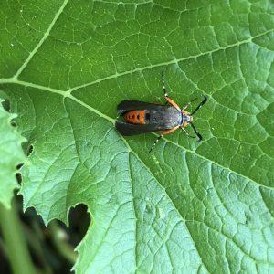 Summer garden pests. Squash vine borer adult.
