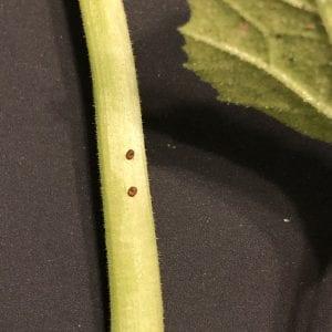 Summer garden pests. Squash vine borer eggs.