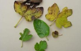Fig rust