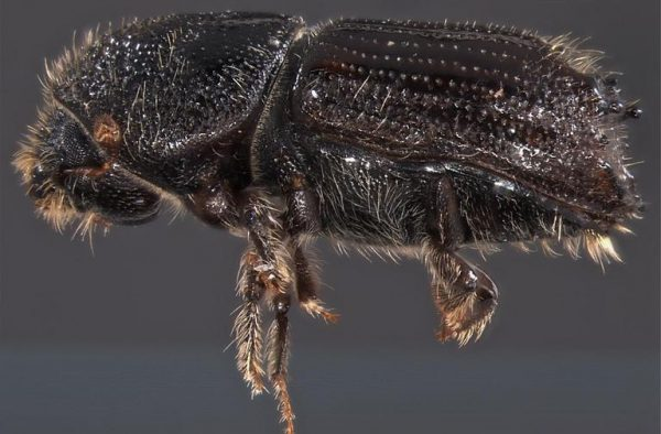 Figure 10. Note the scooped posterior and spines on this Ips pine beetle. Photo by Javier E. Mercado, Bark Beetle Genera of the U.S., USDA APHIS PPQ, Bugwood.org