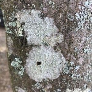 Figure 1. Crustose lichens on tree trunk.