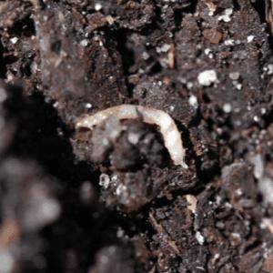 Figure 1b. Redheaded flea beetle larva.