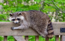 Raccoon laying on a porch rail