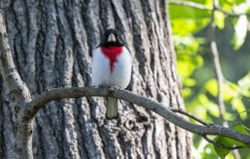 Rose-breasted Grosbeak in Tree