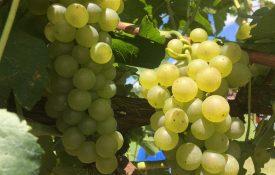 Pierce Disease Resistant grapes
