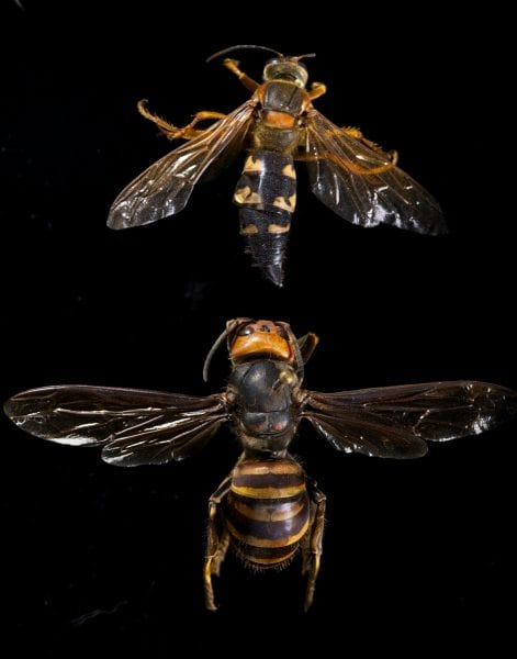 Asian Giant Hornet and Cicada Killer