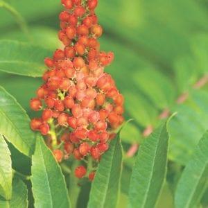 Figure 13. Nonpoisonous sumacs have red fruit.