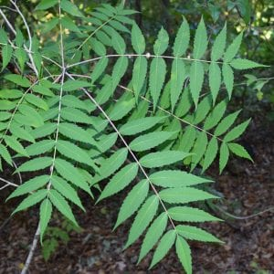 Figure 11. Smooth sumac leaves have eleven to thirty-one leaflets. Note that the leaflets have teeth along the edges.