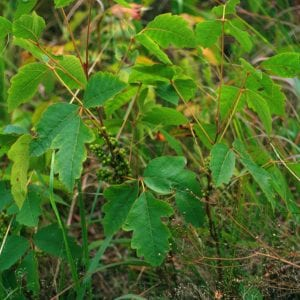 Figure 2. Poison oak looks similar to poison ivy, but the teeth along the edges of the leaflets are more rounded, leaves often are not as shiny, and the form is more shrub-like (photo by John Byrd, bugwood.org).