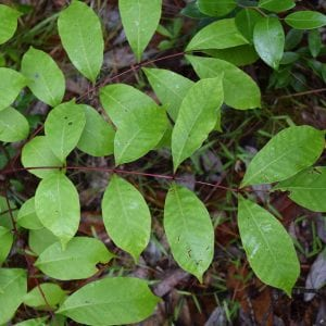 Figure 5. Poison sumac leaves have seven to fifteen leaflets with smooth to wavy margins. Note the bright red color of the stems.