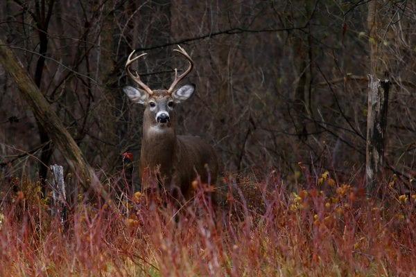 White-tailed deer on alert