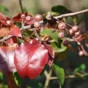 Figure 5. Callery pear fruit and fall color