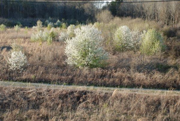 Figure 1. Callery pear colonizing an open field. Flowering can begin in trees as young as 3 years old.