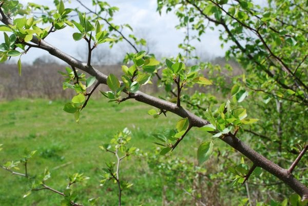 Figure 2. Sharp spur shoots (thorns) add to the problems associated with Callery pear invasions (photo by Nancy Loewenstein)