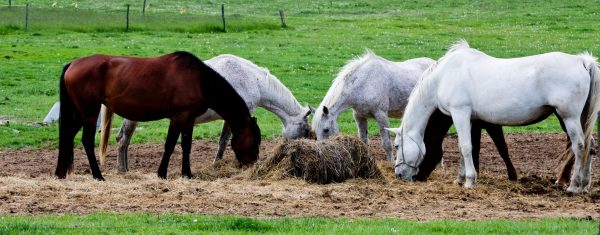 Poor-quality hays may not provide enough energy to meet the horse's daily requirements. This results in weight loss if the horse does not receive supplemental concentrate feed.