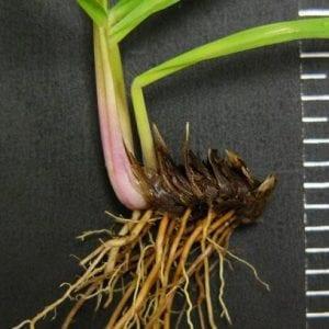 Figure 3. Bahiagrass rhizome. Photo courtesy of Charles Peacock.