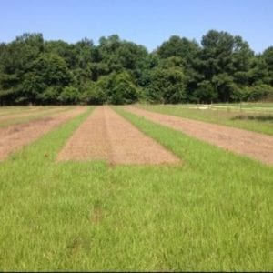 Figure 7. Bahiagrass pasture with rhizoma peanut planted in strips during establishment (left) and later managed under grazing. Photos courtesy of Jose Dubeux, left, and Liza Garcia, right.
