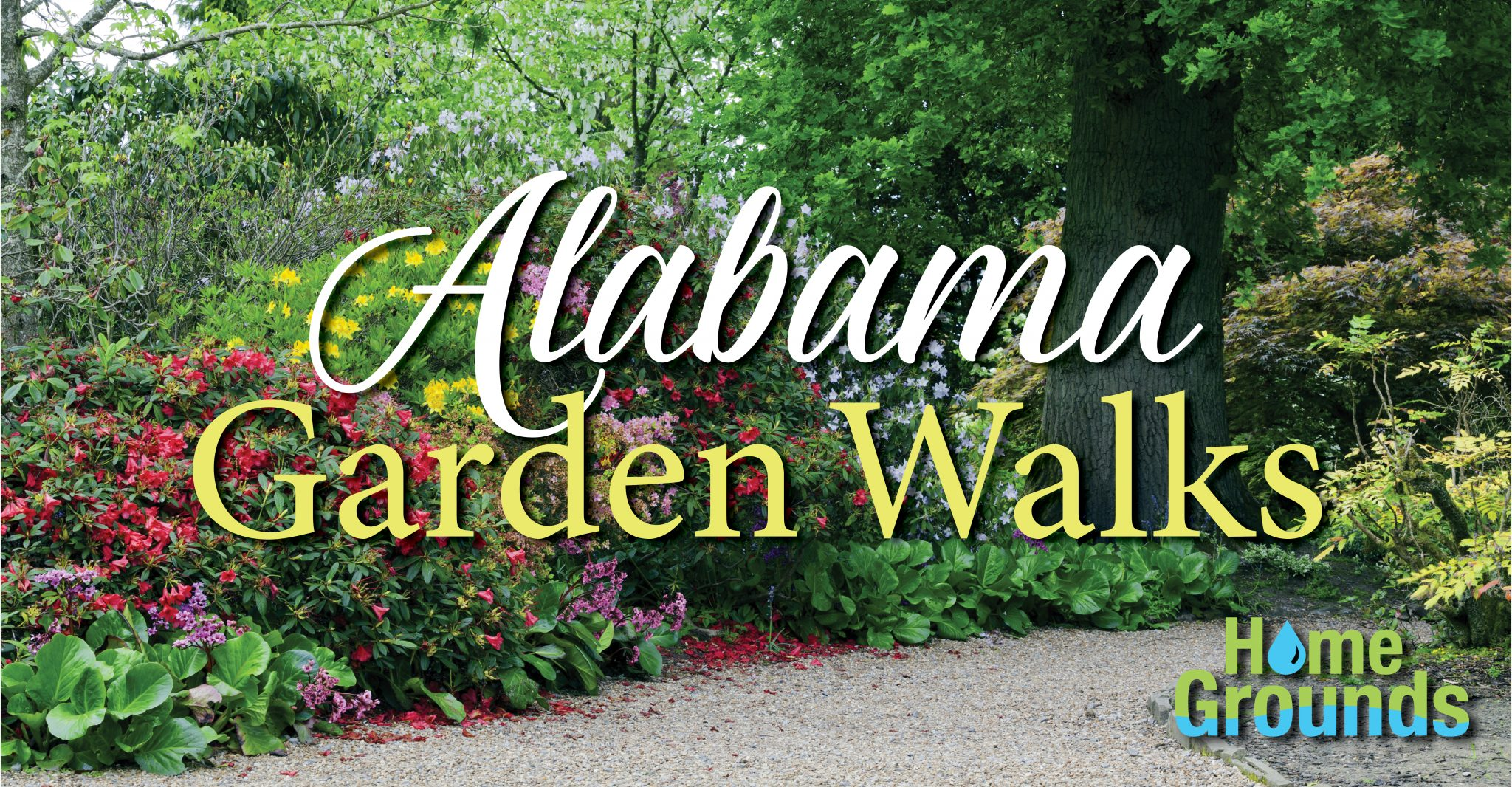 Colourful rhododendrons, azaleas in bloom on a walking path by an oak tree, in a spring lush garden