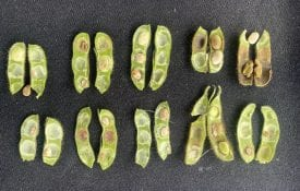 Soybean Seed Damaged by RBSB