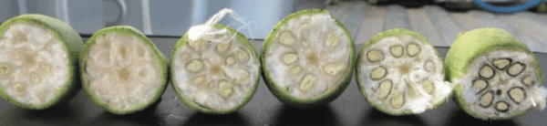 Bolls arranged left to right from least mature to most mature. The last two bolls on the right are safe for defoliation. Photo by Darrin Dodds
