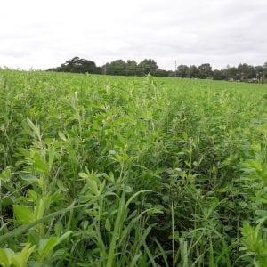 Figure 2. Alfalfa-bermudagrass mixtures in summer in south Alabama.