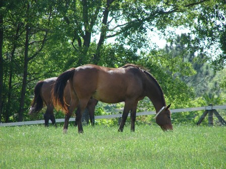 Horses grazing lush pastures may have trouble consuming enough dry matter until the forage matures.