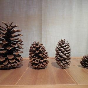 Figure 3. Longleaf, slash, loblolly, and shortleaf pine cones.