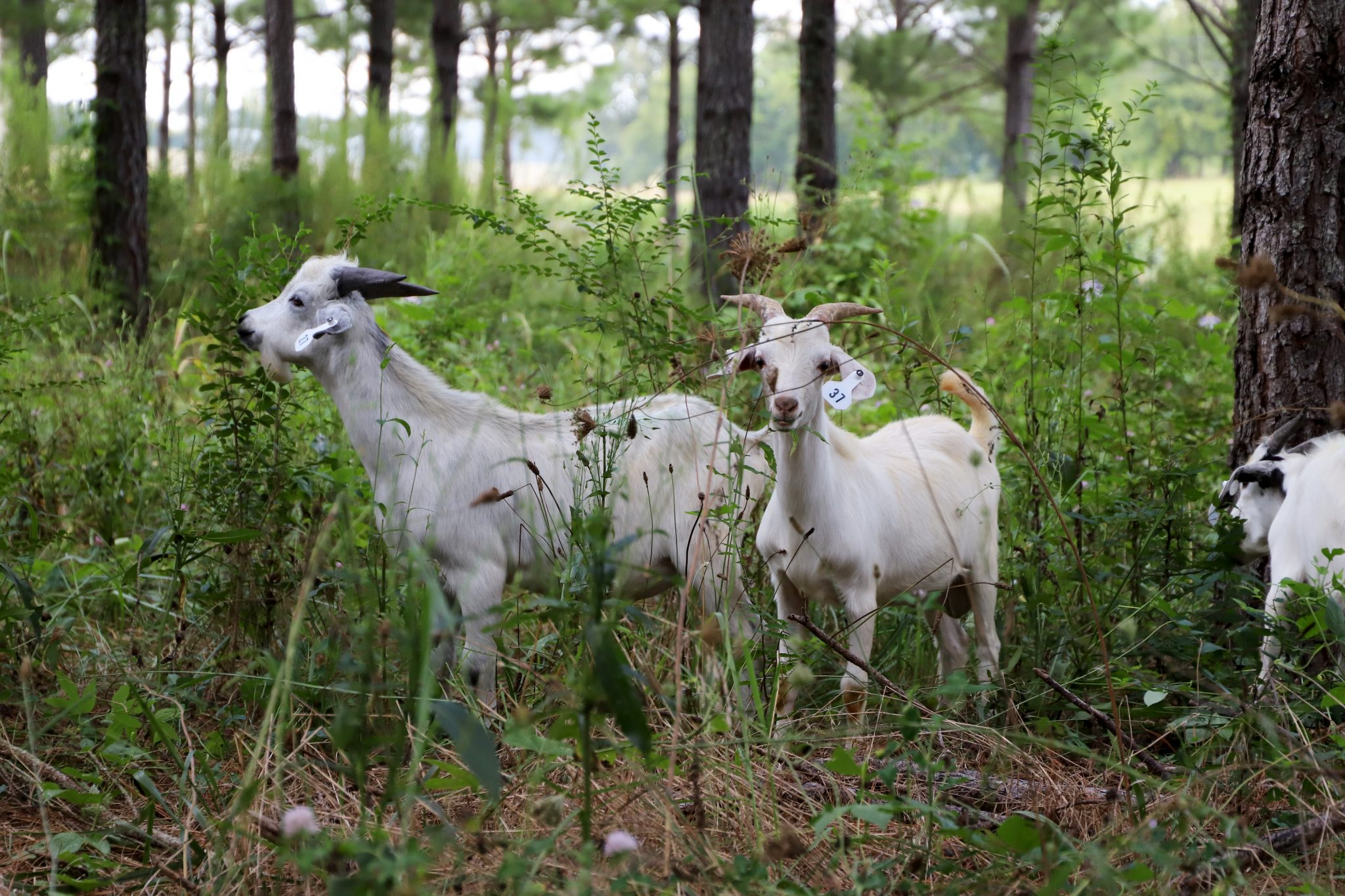 Meat goats on AAMU's Winfred Thomas Agricultural Research Station
