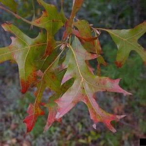 Figure 4. Turkey oak leaves.