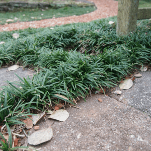 Figure 1. Dwarf mondo grass works well as a ground cover or in between steppingstones.