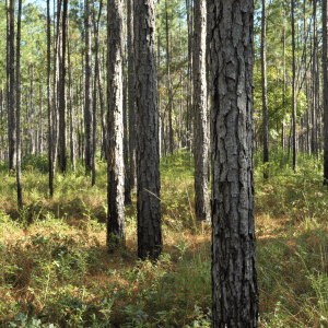 Figure 1. Effects of prescribed fire used every 2 years in the growing season on understory vegetation on a longleaf pine forest near Brewton, Alabama. Notice the grasses and patchy low vegetation in the understory that allow for food and cover for birds such as turkey and quail and for small mammals such as squirrels.