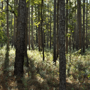 Figure 2. Effects of prescribed fire used every 2 years in the dormant season on understory vegetation on a longleaf pine forest near Brewton, Alabama. Notice that there are fewer grasses and more woody vegetation in the understory. Over time, hardwoods such as sweetgum will progress into the midstory.