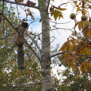 Figure 6. Gray squirrel.