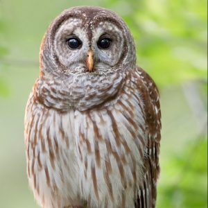 Figure 7. Barred owl.