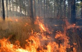 Prescribed fire in a pine forest