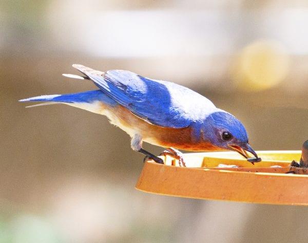 Eastern Bluebird at Feeder